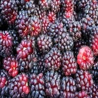 Boysenberry Fruit