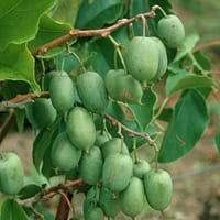 Green Kiwi Tree