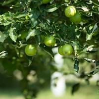 Green apple Tree
