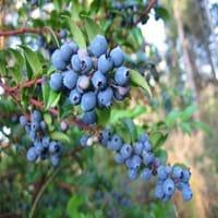 Huckleberry Tree