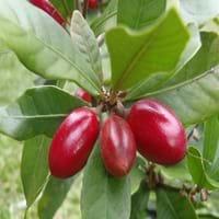 Miracle fruit Fruit