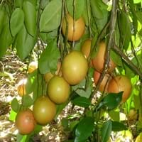 White Grapefruit Tree